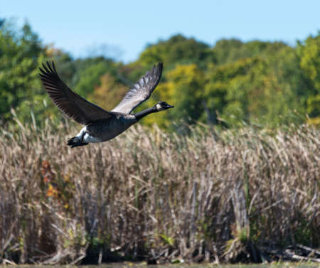 Goose takes off flying over the marsh in the morning on a fall day. Stock Photo