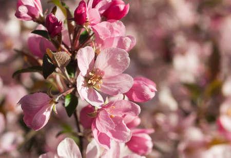 Selectieve focus op een appel bloesem op de voorgrond met roze bloemen op de achtergrond Stockfoto