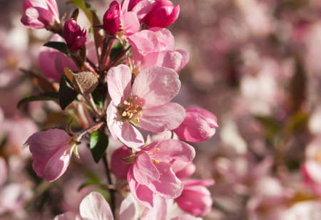 Selective focus on a apple blossom in the foreground with pink blossoms in the background