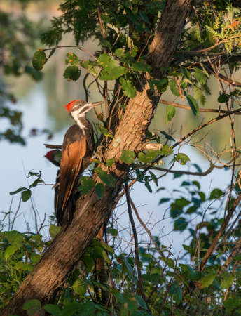 Pileatus woodpecker on cedar tree at waters edge