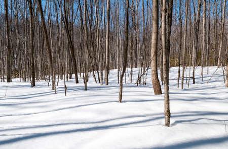 Jonge boompjes in het bos laat op een de winterdag met lange schaduwen op de sneeuw