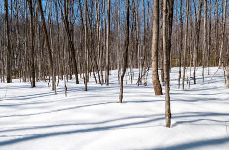 Saplings in the forest late on a the winter day with long shadows on the snow Stock Photo