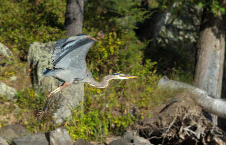 Blue heron just takes off from a northern lake shoreline