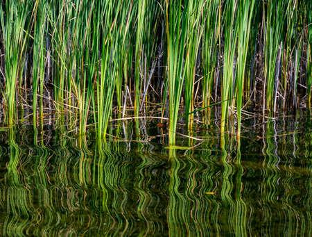 Grafische textuur en wervelende weerspiegeling van riet een op een zomerse vijver