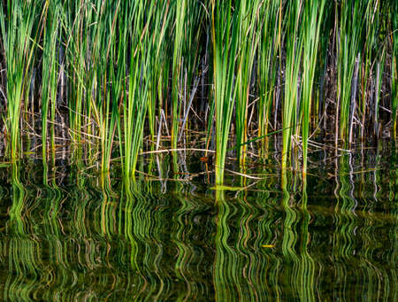 Graphic texture and swirling reflection of bullrushes a on a summer pond Stock Photo