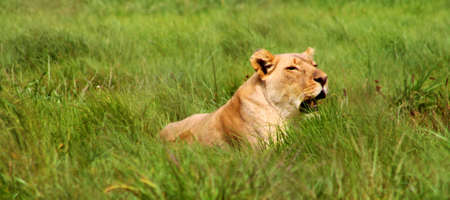 Lioness in savannah in South Africa photo