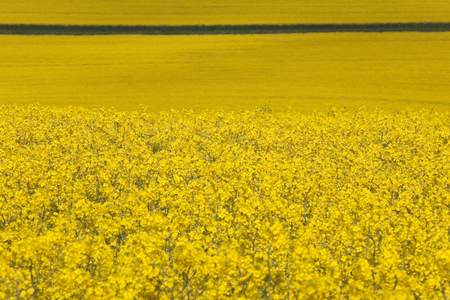 bisected: Field of yellow rape seed bisected by track - England in summer