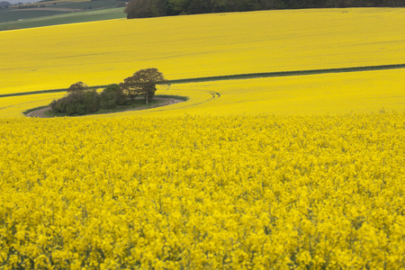 encircling: Field of yellow rape seed encircling tree copse - England in summer Stock Photo