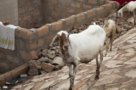 shanty: Family of goats wander the streets in a shanty town area of Accra, Ghana