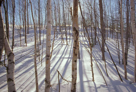 Birch trees in snow and sunshine at Baxter State Park, Maine Stock Photo