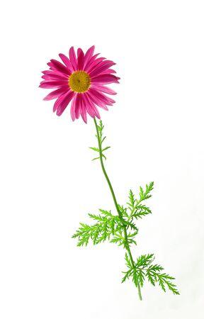 白い背景の上の単独でカモミールの花。