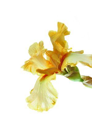 白い背景に黄色のアイリスの花。 写真素材
