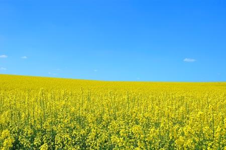 黄色の菜種と青い空。自然の風景 写真素材