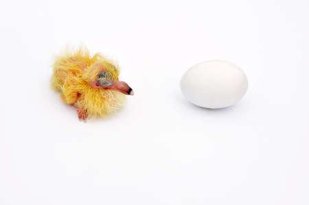Paloma amarilla (sólo el nacimiento) y huevo con Paloma siguiente. Foto de archivo - 9870718