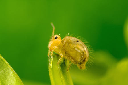 A strange tiny (about 2mm 116 inch) insect: Globular Springtail