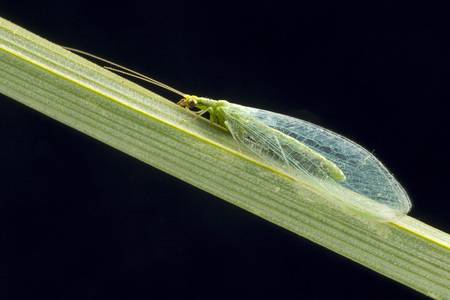 chrysoperla: Lacewing at night