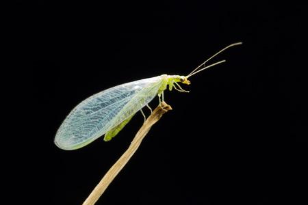 chrysoperla: Lacewing at night