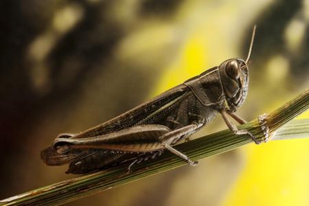 finocchio: Grasshopper su finocchio