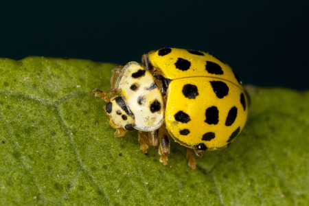 beneficial insect: 22-spot ladybird, a very tiny, approximately 4mm long, much smaller than the common 7-spot.