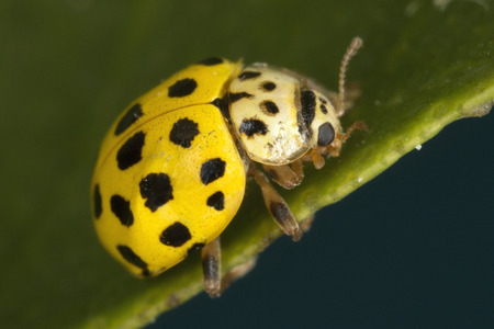 22-spot ladybird, a very tiny, approximately 4mm long, much smaller than the common 7-spot.