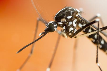 aedes: Asian Tiger Mosquito (Aedes albopictus)