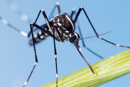 albopictus: Asian Tiger Mosquito (Aedes albopictus)