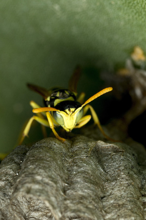 paper wasp: Paper wasp, guarding its nest on pricly pears cactus Stock Photo
