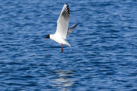 black headed: Black headed Seagull flying over the sea