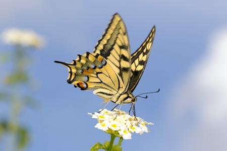 common blue: Swallowtail butterfly on lantana flowers