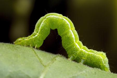 A small green caterpillar Stock Photo
