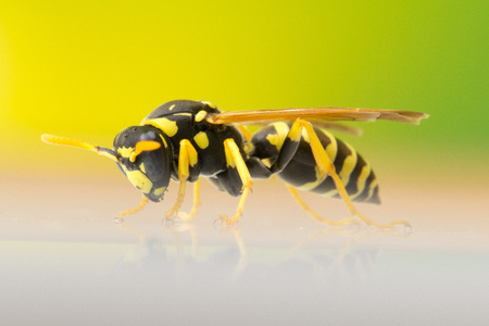 Wasp, colored background
