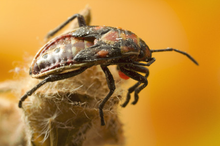 Bug Instar: bugs, unlike beetles, grow in stages called instars, and do not go through larva and pupa stages.