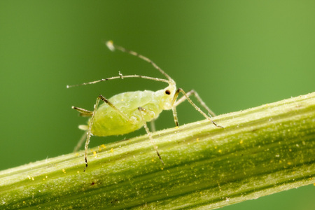 Aphid at 3X lifesize magnification Stock Photo