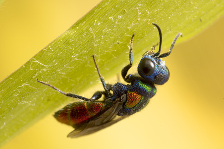 Cuckoo wasp. It is a parasitic wasp, and lays its eggs in other wasps nest, just like a cuckoo.