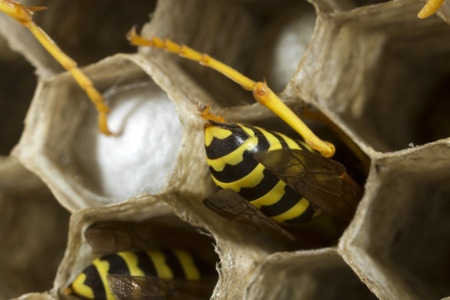 Paper wasps at work in their nest Stock Photo