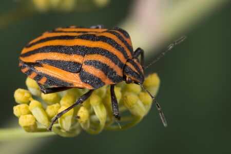 Red and black striped Stink bug - Graphosoma lineatum