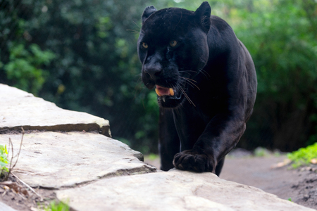 Black panther on the move