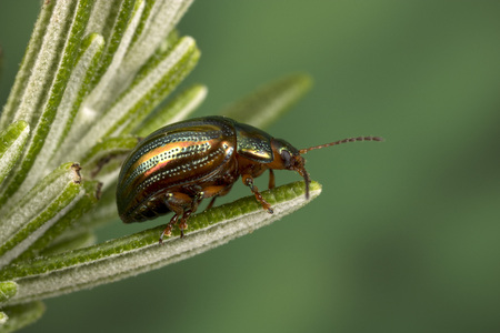 Rosemary Beetle (Chrysolina americana) on rosemary plant 免版税图像