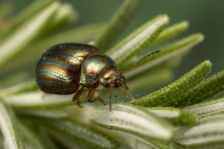 Rosemary Beetle (Chrysolina americana) on rosemary plant 写真素材