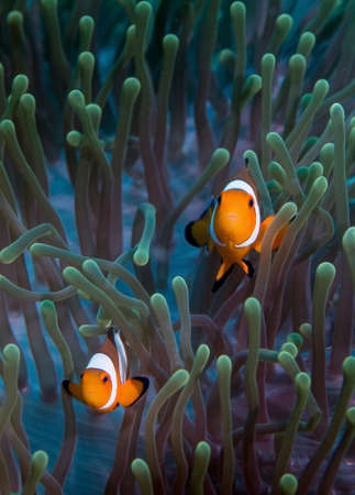 nemo: A pair of false clownfish swim over their anemonie