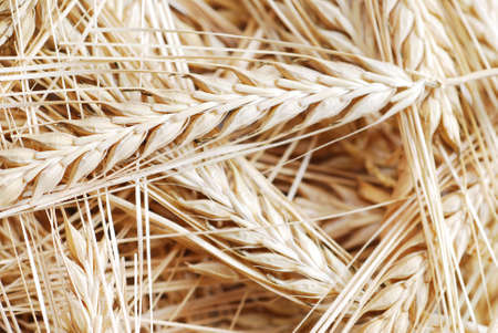 Bunch of wheat as background stock photo photo