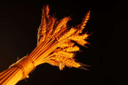 Wheat with warm colors isolated on black stock photo photo