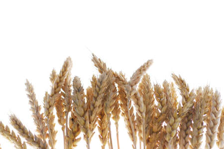 Wheat with warm colors isolated on white stock photo Stock Photo
