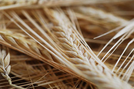 buch: Buch of wheat with selective focus stock photo
