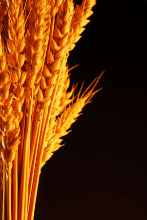 Warm colored wheat isolated on black stock photo