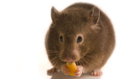 Cute little brown hamster isolated on white with copy space eating corn seed Imagens