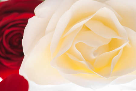 flowerhead: Perfect White and Red Rose Flowerhead Top View