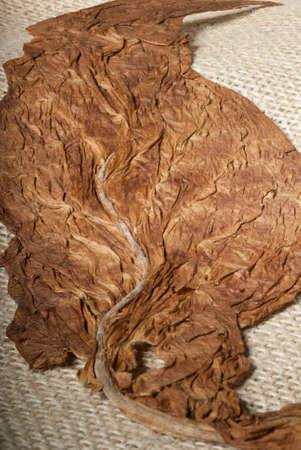 tobacco: Process of drying a nicotine leaf on a cloth