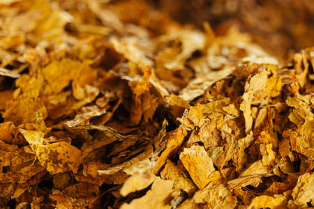 tobacco leaf: Bulk tobacco background in a factory warehouse Stock Photo