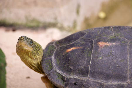 snapping turtle: common snapping turtle Stock Photo